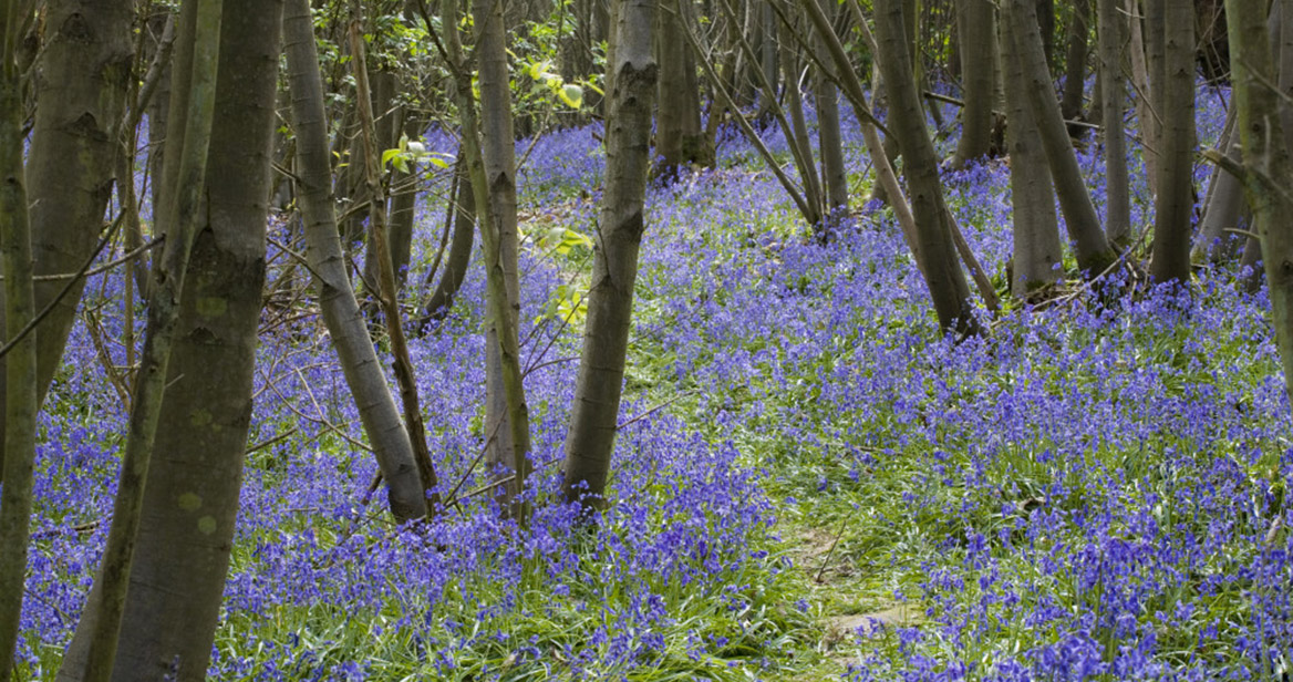 160472---bluebells-at-Sissinghurst-Castle-Garden